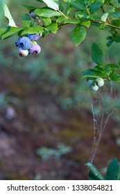 Nature's pest control viewed as a spiderweb stretched on a blueberry bush with ripening blueberry clusters on a day in early summer