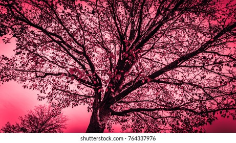Natures photography art-Looking up at tree in fall time. Split tone rose red. Photography art; natures abstract.