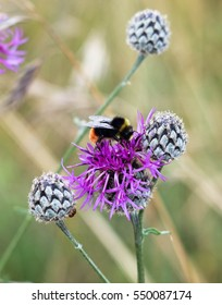 Nature's pollinators, Red tailed bee on wild scabious