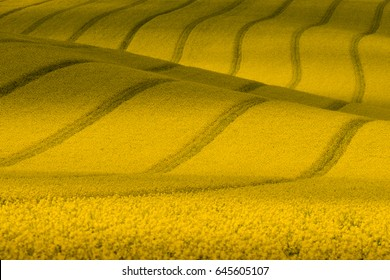 NatureTexture With Rape.Yellow Spring Wavy Rapeseed Field With Stripes. Corduroy Summer Rural Landscape In Yellow Tones.Yellow Rapeseed Wavy Abstract Field.Czech Spring Landscape Pattern.South Moravia