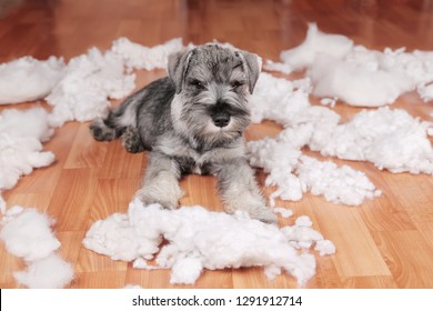 Naughty bad schnauzer puppy dog made a mess at home, destroyed plush toy. The dog is home alone.