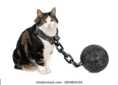 Naughty cat with shackles, isolated on white