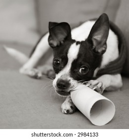 Naughty chihuahua chewing on paper