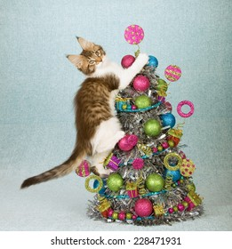 Naughty Christmas Maine Coon kitten climbing up Christmas tree decorated with colourful balls and trimmings