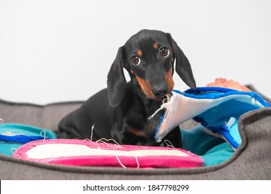 Naughty dachshund puppy has stolen home slippers of owner and is gnawing them in pet bed, front view. Baby dog with guilty look was caught in the act