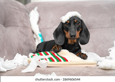Naughty dachshund puppy was left at home alone and started making a mess. Pet tore up furniture and chews home slipper of owner. Baby dog is sitting in the middle of chaos