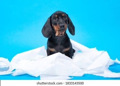 Naughty dachshund puppy stole and tore toilet paper, got tangled, looks guilty at the owner. Hyperactive baby dog stayed home alone and made a mess because of growing itching fangs.