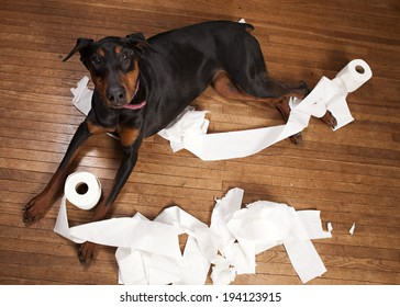 Naughty dog!  Beautiful Doberman in a pile of shredded toilet paper on a wood floor.