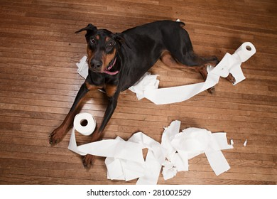 Naughty dog!  Doberman lying on a wood floor with toilet paper all over.