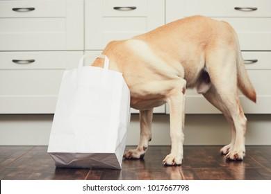 Naughty dog in home kitchen. Curious and hungry labrador retriever eating purchase  from the paper bag.
