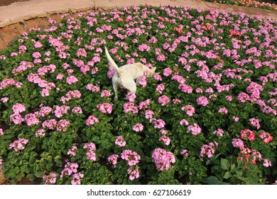 A naughty dog trying to sniff and dig in the beautiful garden of pink flowers