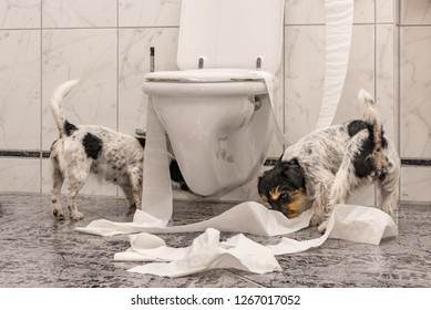 naughty dogs are making a mess in the apartment. Little destroyer Jack Russell Terrier