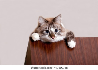 naughty funny cat looking from the shelf