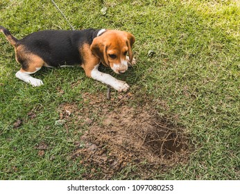 naughty lovely cute beagle puppy dog enjoy playing and digging a hole in the yard for fun and learning scenting abilities
