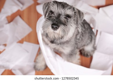 Naughty schnauzer puppy dog made a mess at home. The dog is home alone.