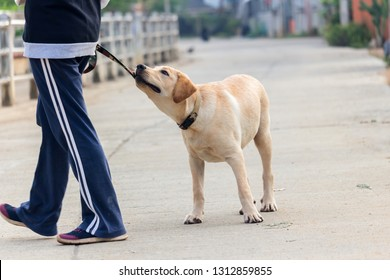 naughty young labrador retriever bite a dog leash in the training