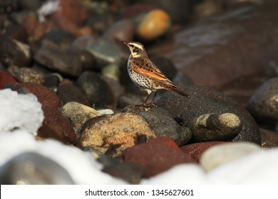 Naumann's thrush on coast