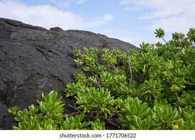 The Naupaka Kahakai (Scaevola taccada), a native, indigenous plant growing on a lava beach on the Island of Hawaii.