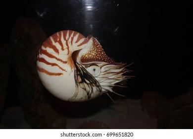 Nautilus in the Aquarium