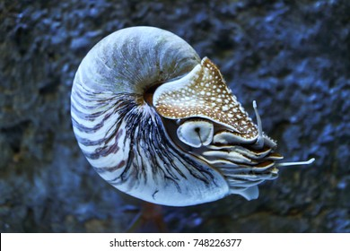 Nautilus in deep sea
