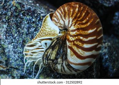 Nautilus Pompilius or Chambered Nautilus