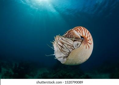 Nautilus pompilius at shallow water