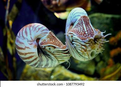 The Nautilus shell