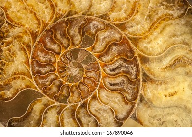 Nautilus shell fossil with cristals and minerals
