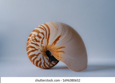 Nautilus Shell, Nautilaceae, chambered nautilus