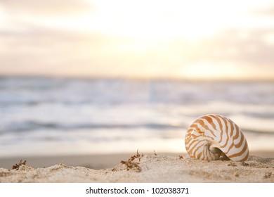 nautilus shell on beach  under golden tropical sun beams, shallow dof