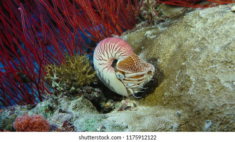 Nautilus shell swimming in blue water with coral,