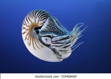 Nautilus shell swimming in blue water, Palau, Micronesia.