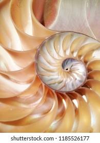 nautilus shell symmetry cross section spiral structure Fibonacci growth golden ratio background mollusk (nautilus pompilius) copy space half split stock, photo, photograph, image, picture