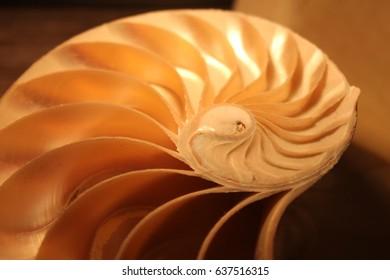 nautilus shell symmetry Fibonacci half cross section spiral golden ratio structure growth close up back lit mother of pearl close up ( pompilius nautilus ) stock, photo, photograph, image, picture