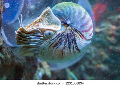 Nautilus squid a rare and beautiful living shell fossil underwater sea animal