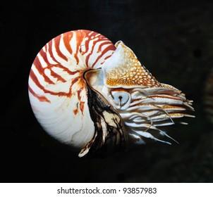 nautilus swimming, alive