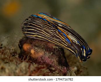 Navanax inermis from Redondo Beach