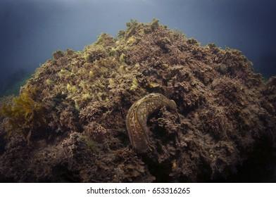 Navanax Sea Slug