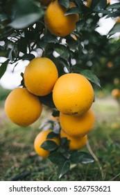 Navel orange orchard,Jiangxi,China