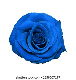 Navy blue rose head isolated on white. Colorful rose flower head fully open blooming. Top view. Garden flowers