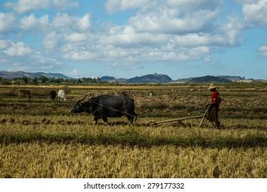 NAYAUNGSHWE, SHAN, MYANMAR - December 06, 2014: Burmese farmer plowing a rice field with his water buffalo