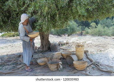 NAZARETH, ISRAEL - OCT 15 : Palestinian farmer harvesting olive tree in October 15 2012 at Nazareth Village, historical re-creation of Nazareth as it was at the time of Christ