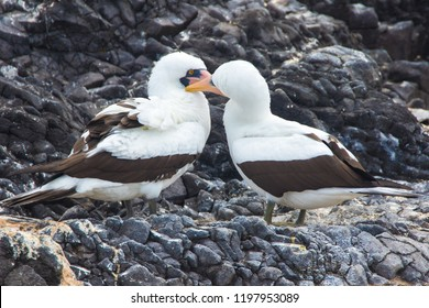 Nazca boobies couple in Galapagos Islands
