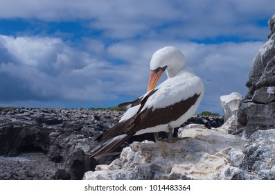 Nazca booby (Sula granti)  preening.  Blue sky with clouds on a white rock.