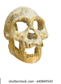 Neanderthal Skull from about 90,000 years ago in Europe, demonstrating typical Neanderthal features such as the low forehead pronounced brow ridge receding chin and robust jaw
