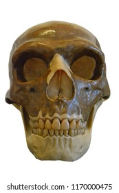 Neanderthal skull, front view showing characteristic large orbits, nasal aparture and facial forumen. Isolated against a white background