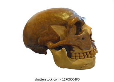 Neanderthal skull, right side view showing characteristic supraorbital ridge, nasal buttress and retro molar gap, robust jaw,  and facial forumen. Isolated against a white background