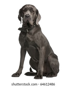 Neapolitan Mastiff, 3 years old, sitting in front of white background