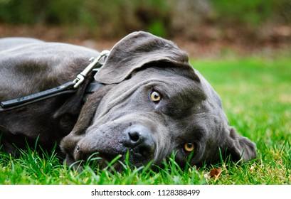 Neapolitan Mastiff dog outdoor portrait lying in grass