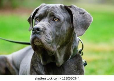 Neapolitan Mastiff dog outdoor portrait in grass